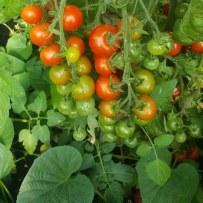 CaMB Cyrenians tomatoes